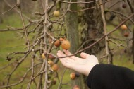 Crab apples are usually found as pollination partners to apple trees