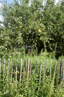 3 oldest apple trees in the farm