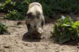 Fern the resident pig