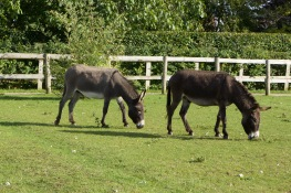 Two fostered donkey